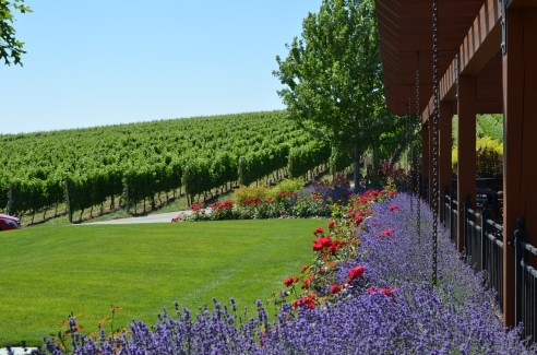 Beautiful views of the grape vines.